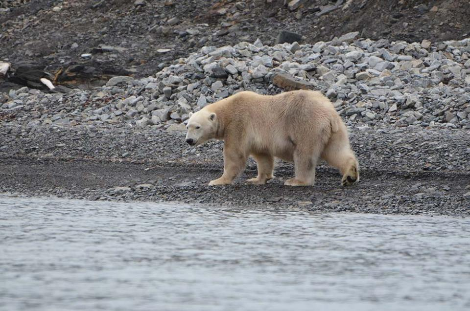 Ours blanc qui avance en nous regardant, Svalbard