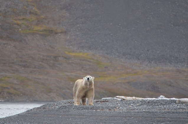 Ours polaire qui nous observe... Svalbard