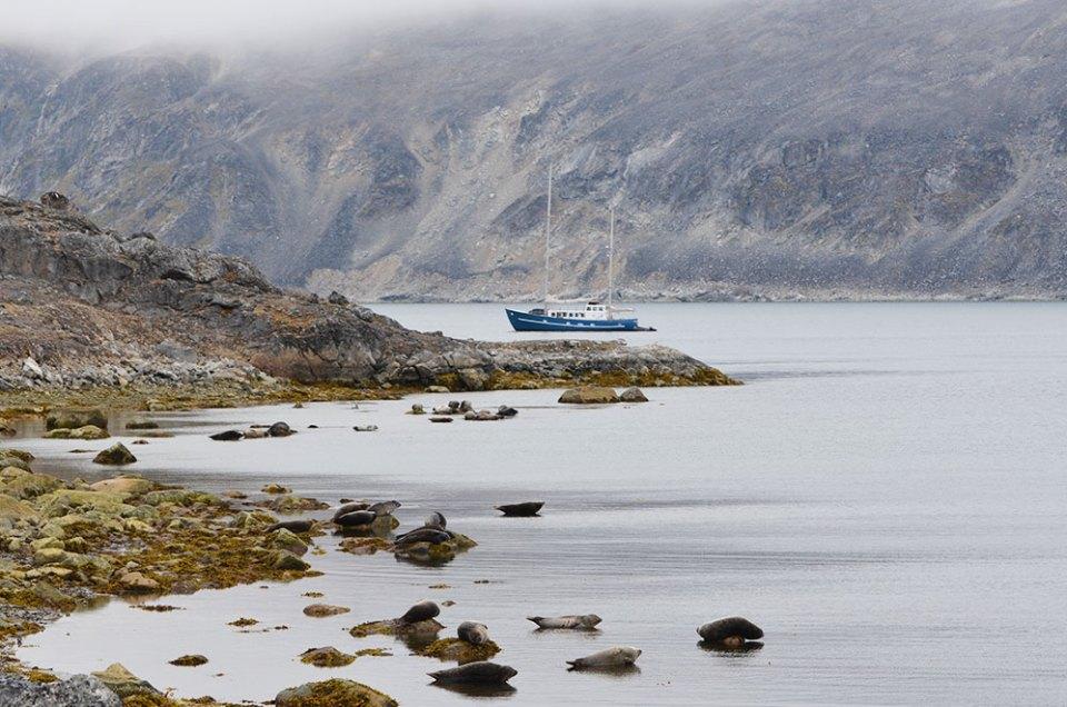 Groupe de phoques communs perchés sur des rochers face à l'Aztec Lady, Svalbard