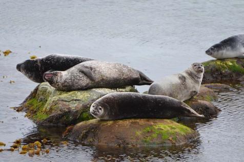 Groupe de phoques communs perchés sur des rochers, Svalbard