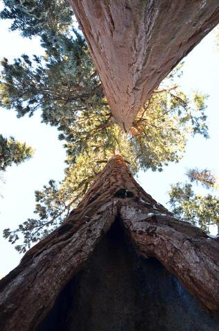 Vue en contre plongée d'un grand sequoia, Kings Canyon national park