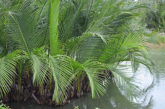 Coconut Water, Vietnam