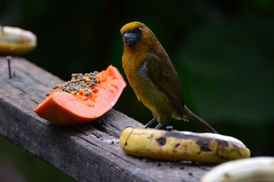Oiseau jaune qui trône sur une branche au Costa Rica