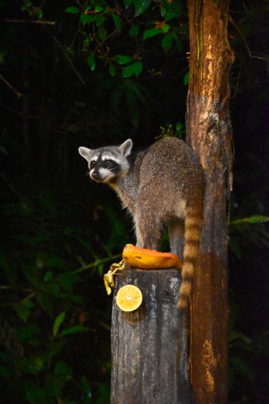 Ragoon qui mange des fruits à Arenal au Costa Rica