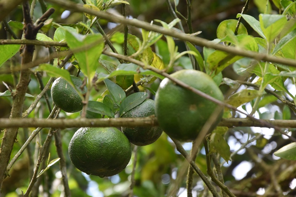 Mandarines vertes dans un arbre au Costa Rica