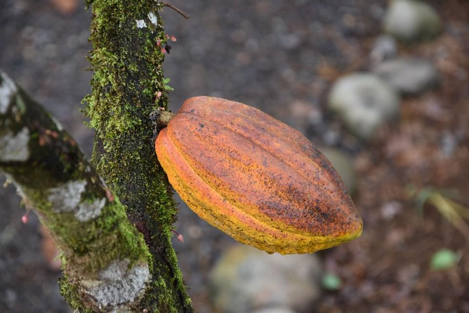 Cabosse de Cacao de la Finca La Amistad, Costa Rica