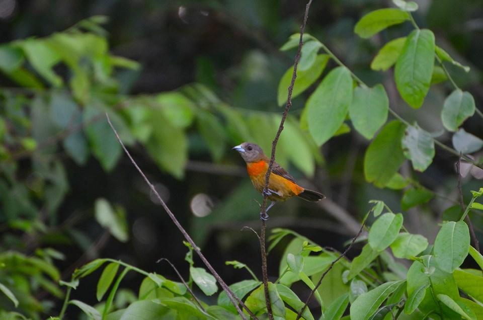 Petit oiseau orange et gris au Parc Corcovado, Costa Rica