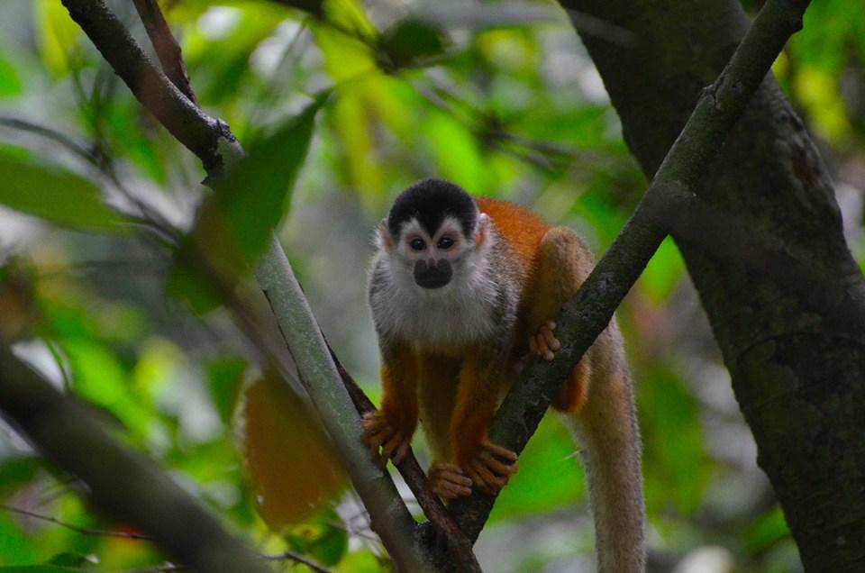 Singe écureuil au Parc Corcovado, Costa Rica