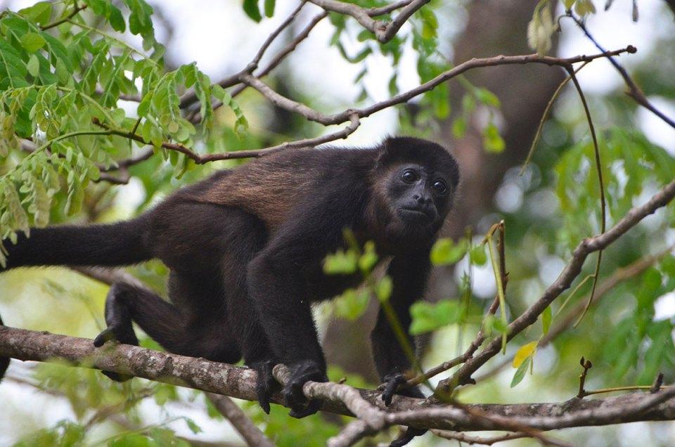 Singe hurleur qui nous regarde, Costa Rica