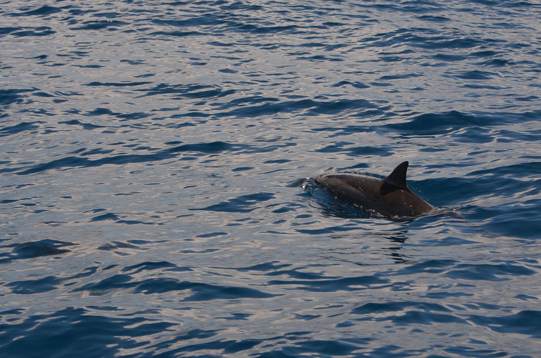 Dauphin dans l'eau, Nosy Be