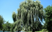 The big willow tree