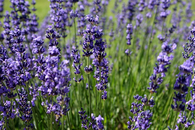 Use lavender to help with anxiety disorders