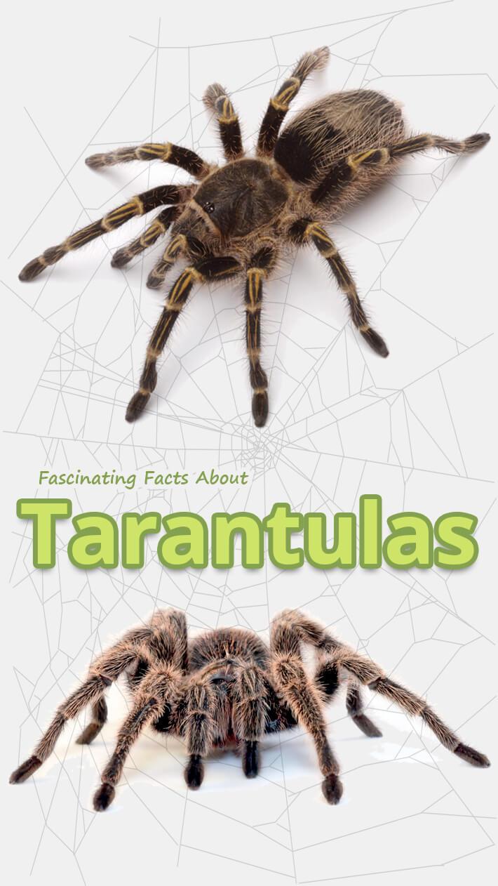 Fascinating Facts About Tarantulas
