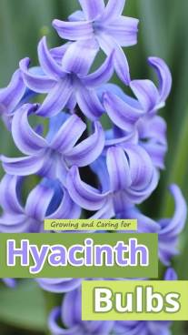 Growing and Caring for Hyacinth Bulbs