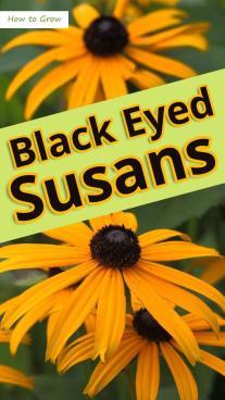 How to Grow Black Eyed Susans