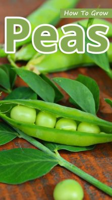 How To Grow Peas