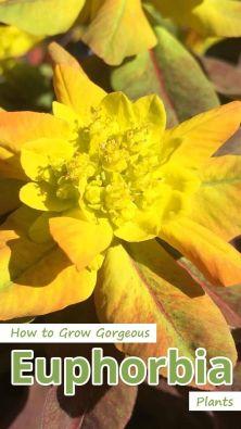 How to Grow Euphorbia Plants