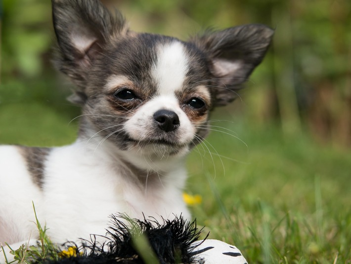 Pet Care Tips for Small Dogs