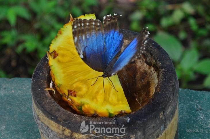 Mariposa Morpho Azul.