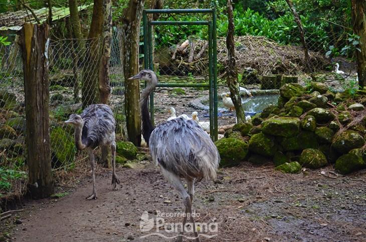 Avestruces en El Nìspero