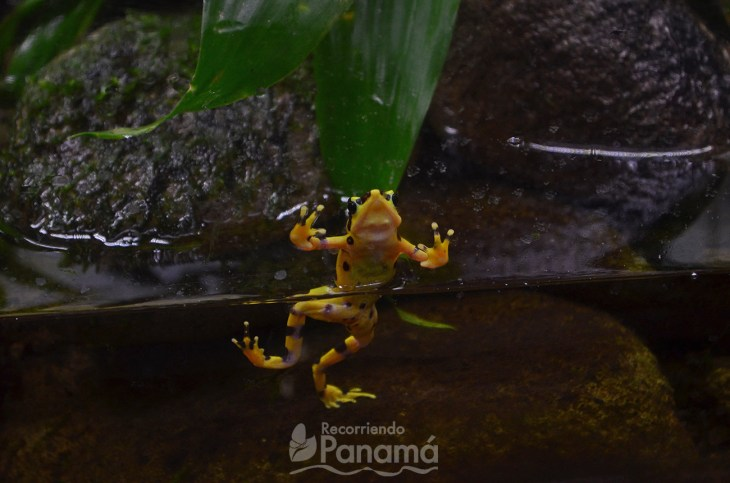 Golden Frog, one of the Interesting facts