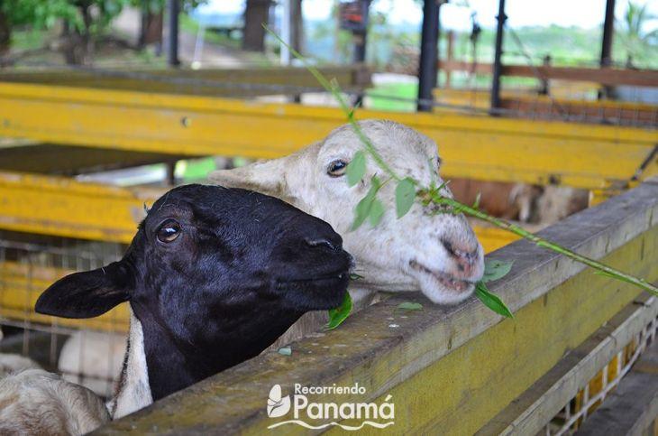 Sheeps agro tourism la granja campo y aventura