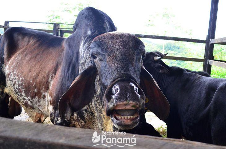 A smile Colgate Cow
