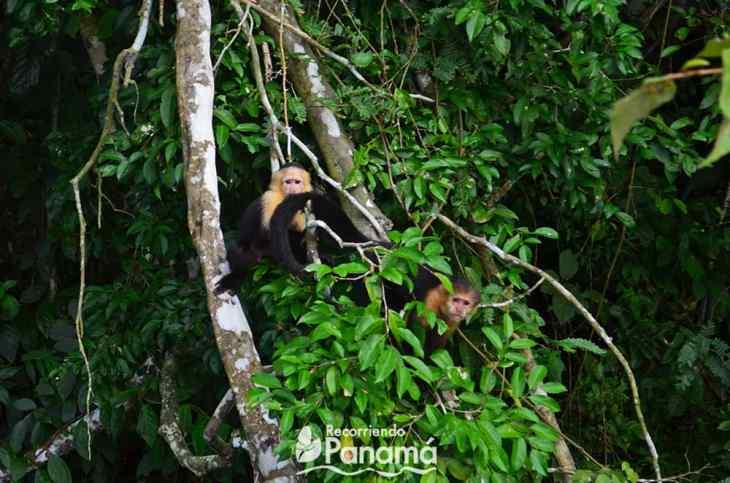 Monos Cariblanco, de la Isla de los Monos.
