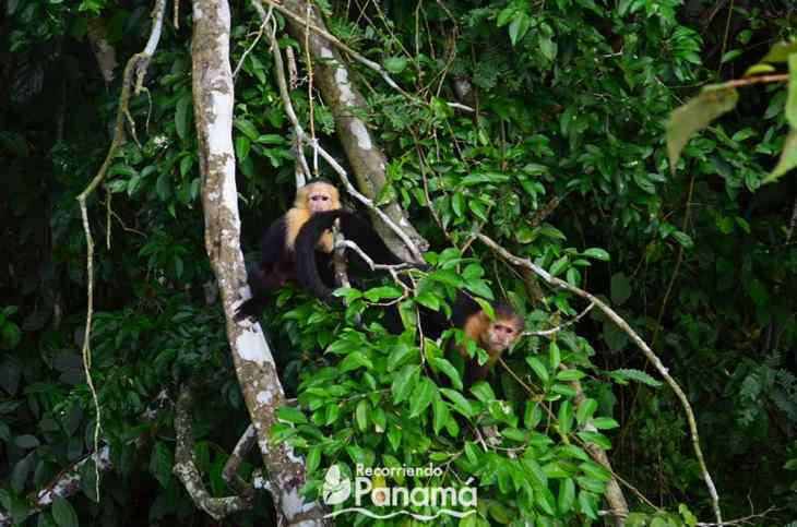 White-faced monkeys at monkeys island
