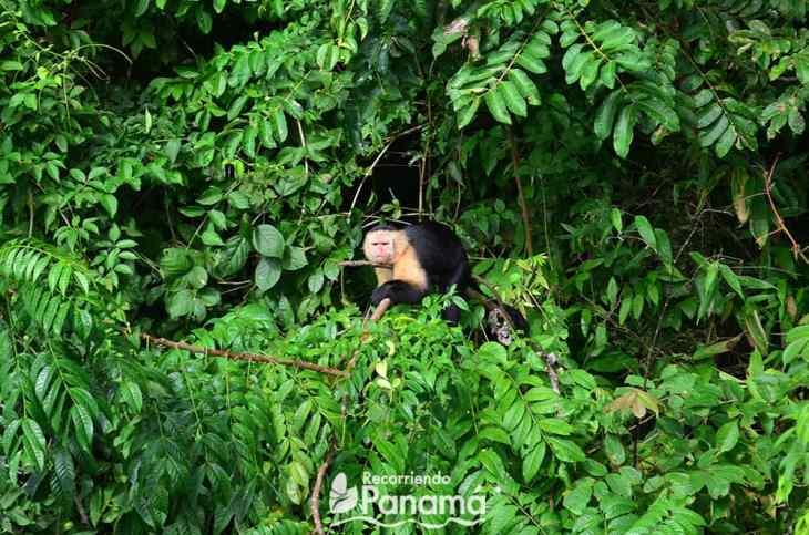 White-faced monkey, monkeys island Our little thief.