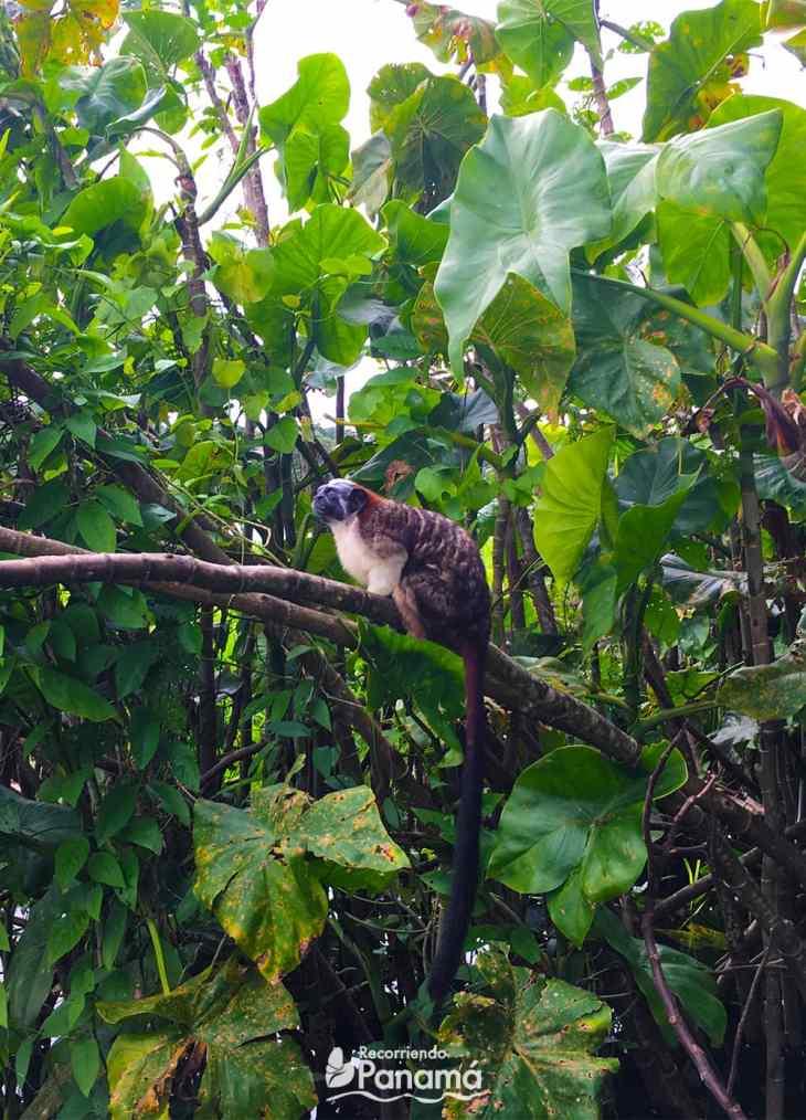 Mono Titi, de la Isla de los Monos.