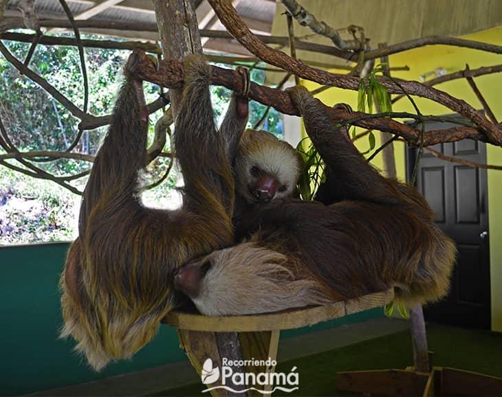 Amigos perezosos tomando una siesta.