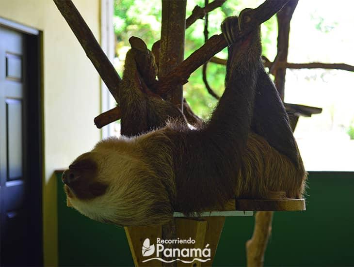 2-toed sloth