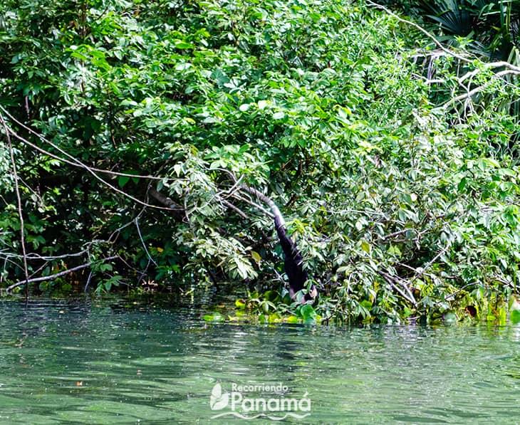 Mono Cariblanco baja a tomar agua. Safari por las Aguas del Canal de Panamá