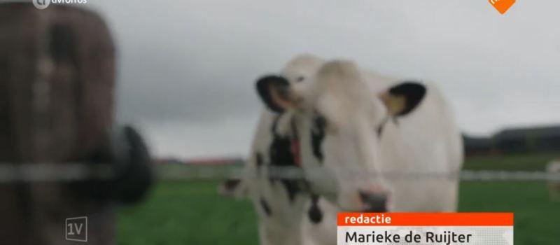 Zwerfafval maakt koeien ziek in Nederland
