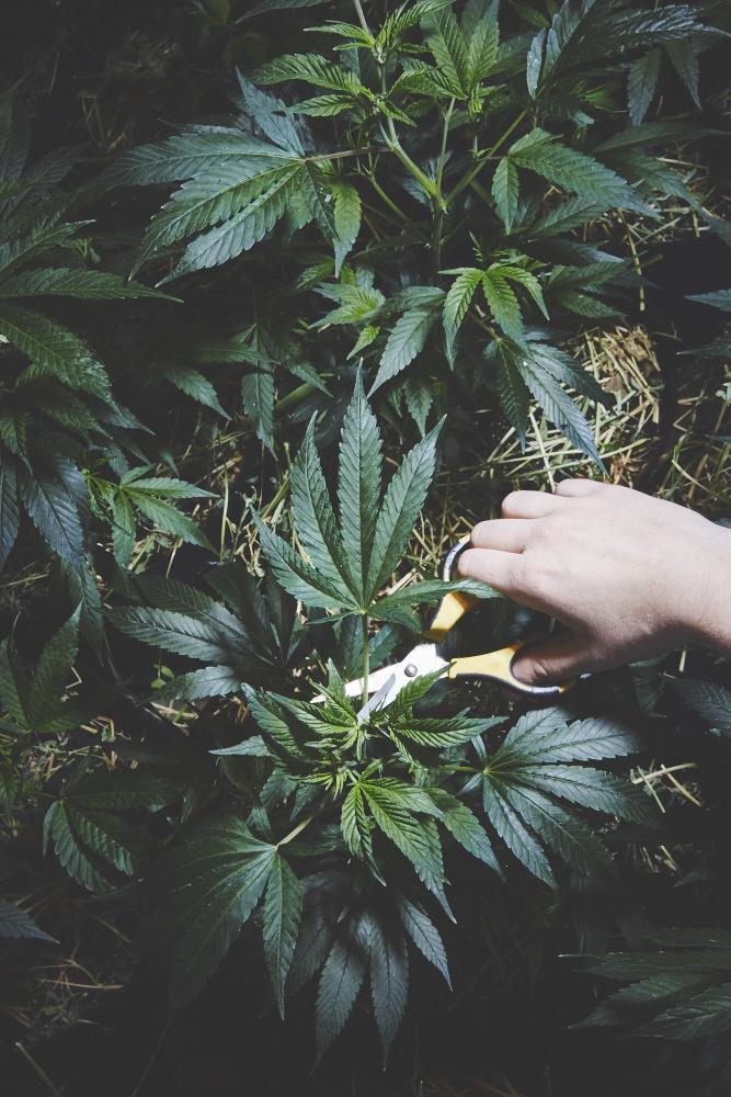 monjas-marihuana-5