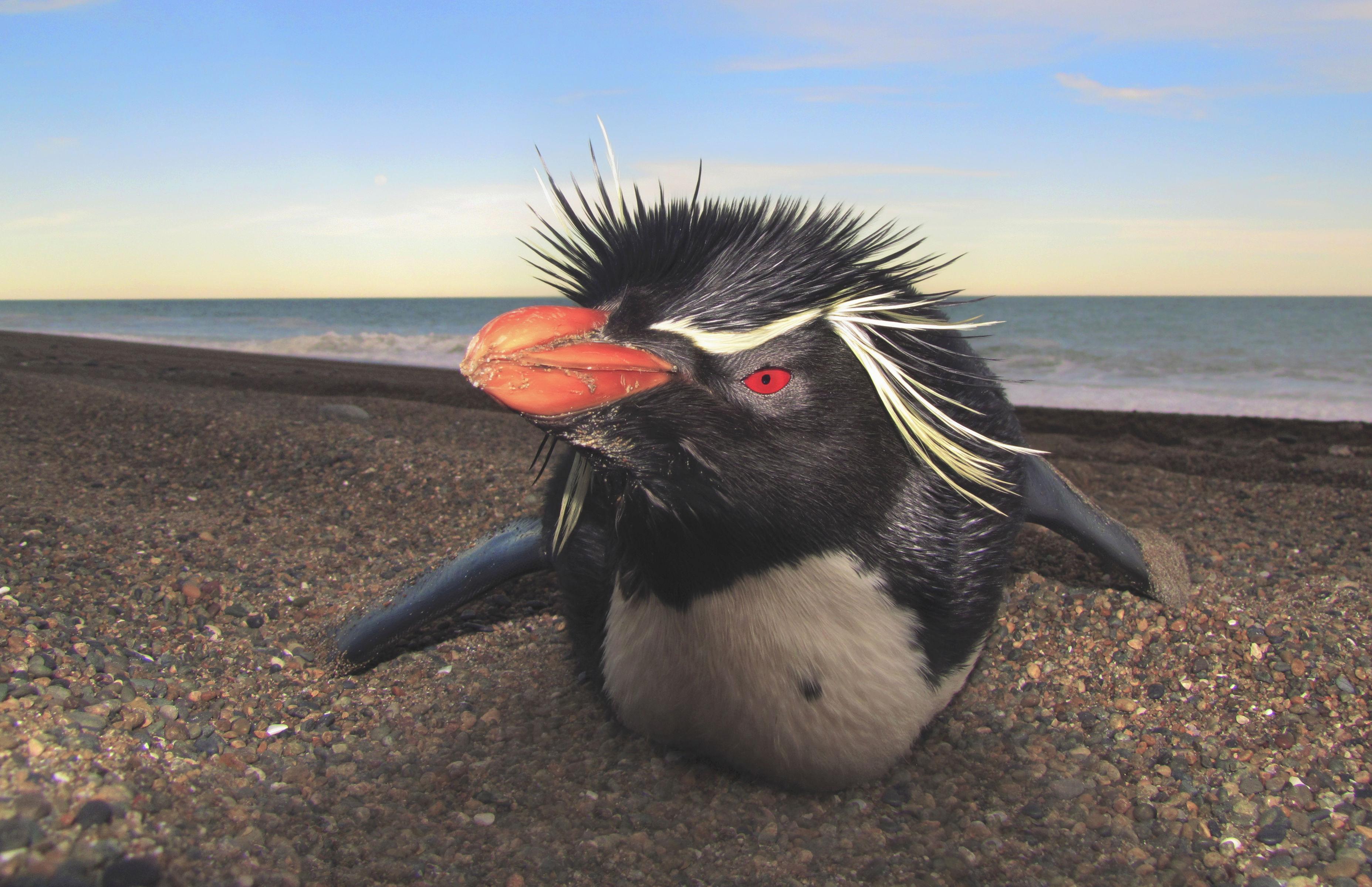 La reserva Burdwood II ayudaría a preservar a los pingüinos de penacho amarillo.   Foto Lyra Films