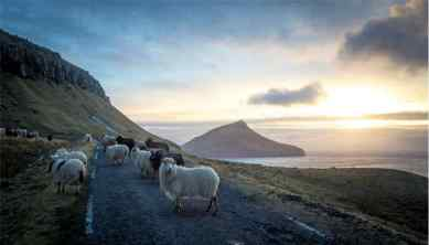 Storytelling Faroe Island sheep