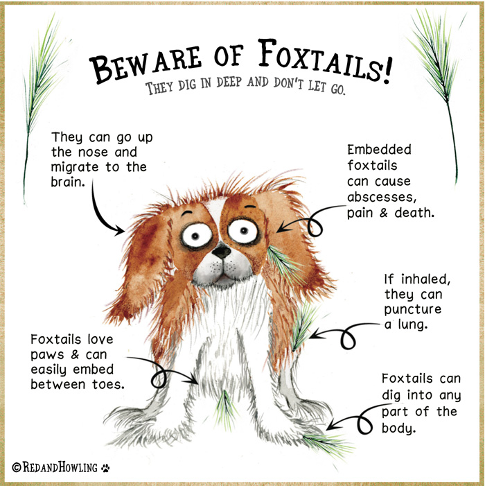 Beware Of Foxtails Red And Howling