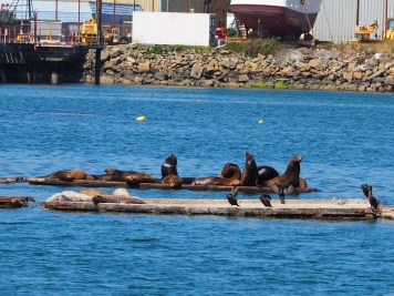 Sea lions and harbor seals