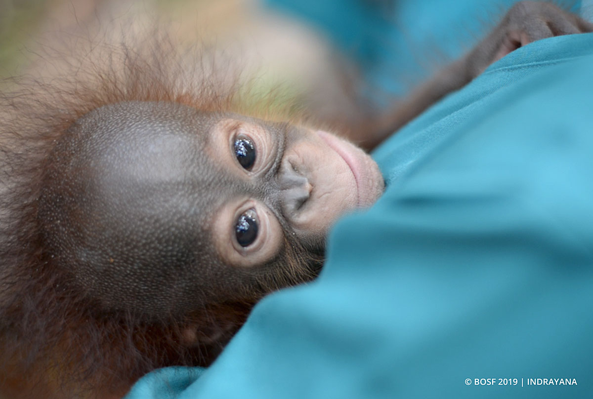 Jakarta animal aid network (jaan) adalah organisasi non profit yang didirikan pada bulan januari 2008 untuk melindungi satwa liar di indonesia dan. BOSF: Baby Orangutan Greta Learns the Ropes - Orangutan