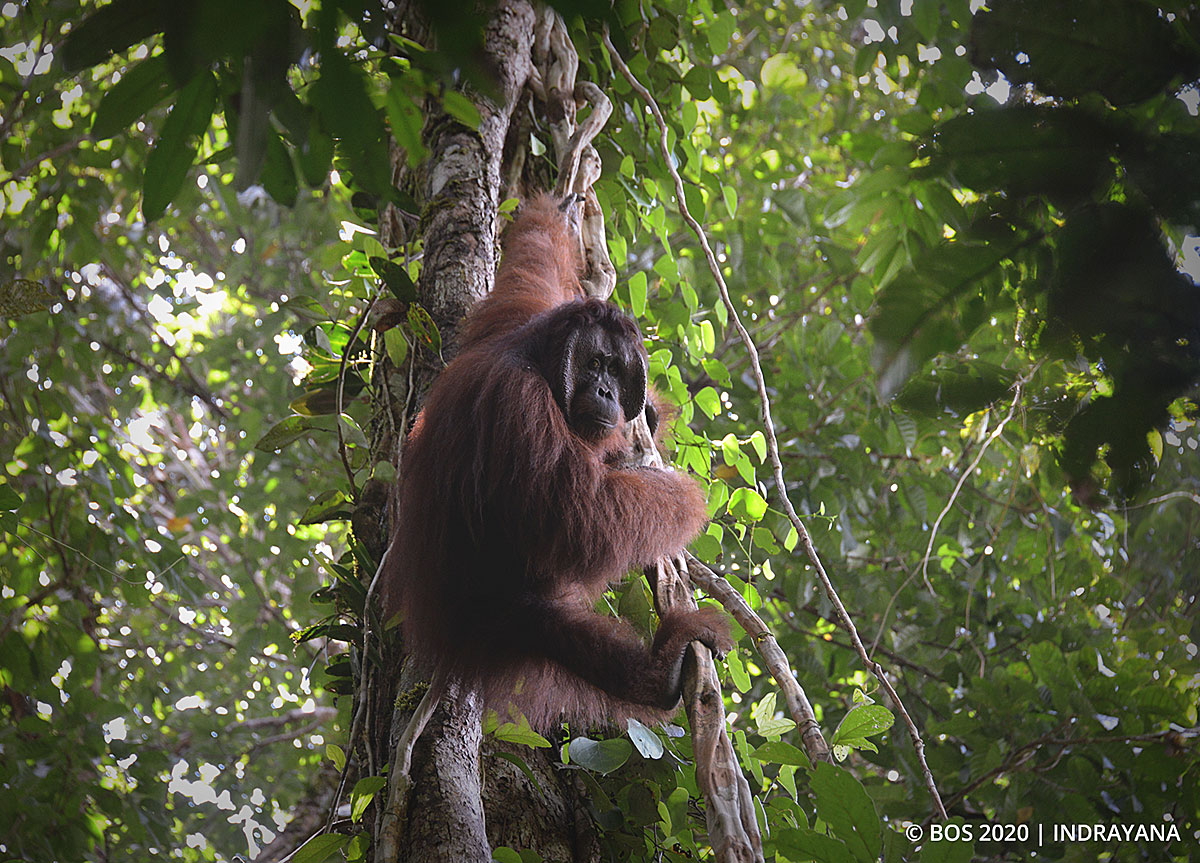 Jakarta animal aid network (jaan) cofounder femke den haas. BOS Foundation Press Release: 35th Orangutan Release