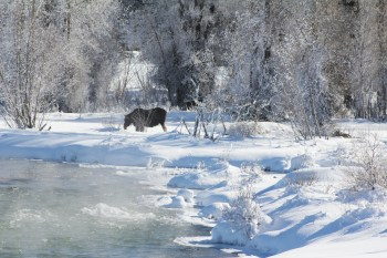 moose Grand Teton National park in winter