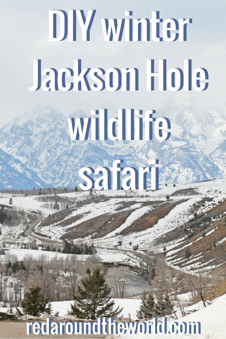 DIY Jackson Hole, Wyoming wildlife safari