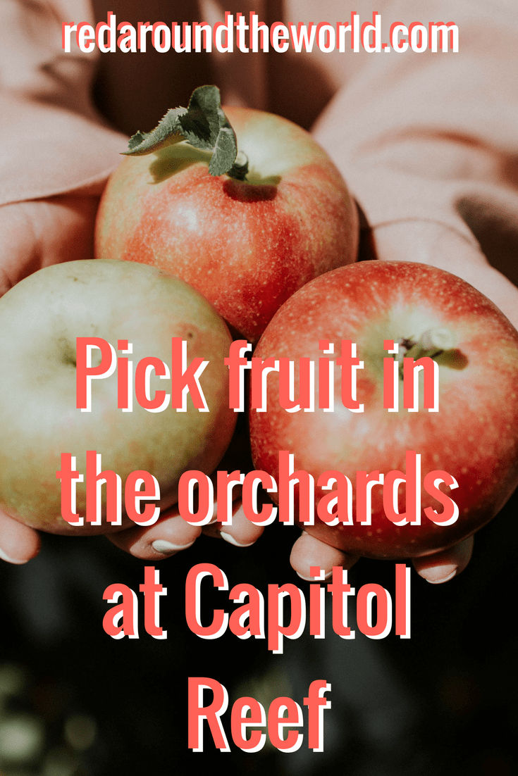 Pick fruit in the orchard at Capitol Reef (1)