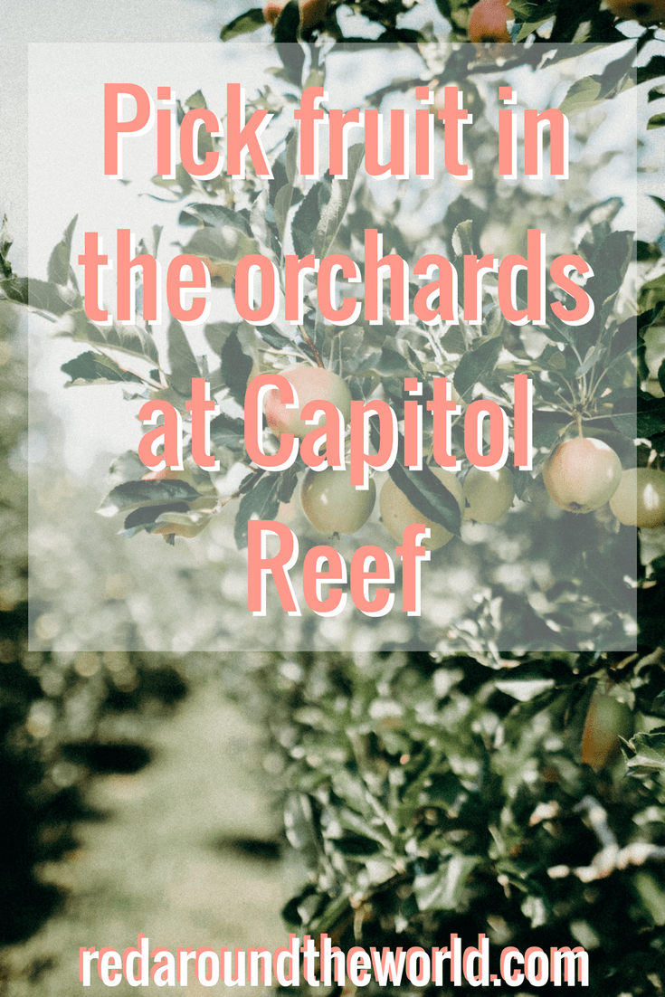 Pick fruit in the orchard at Capitol Reef