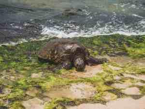 sea turtle on a beach on oahu
