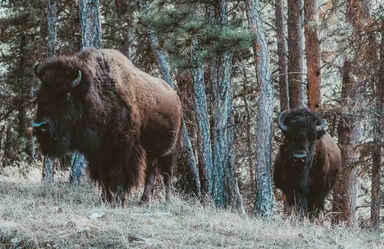 Wind Cave bison