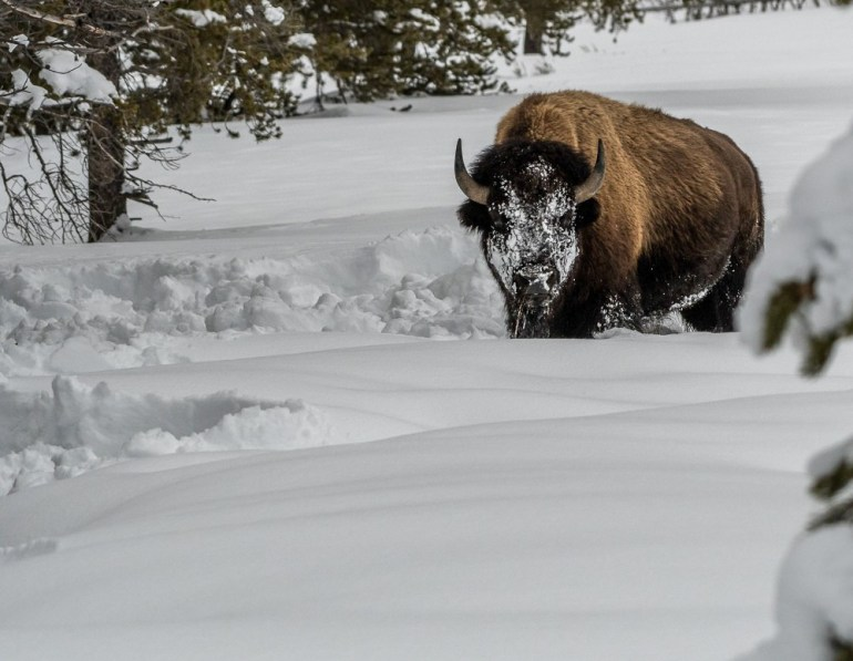 bison-snow-face-winter-yellowstone-national-park-photo-jeepers