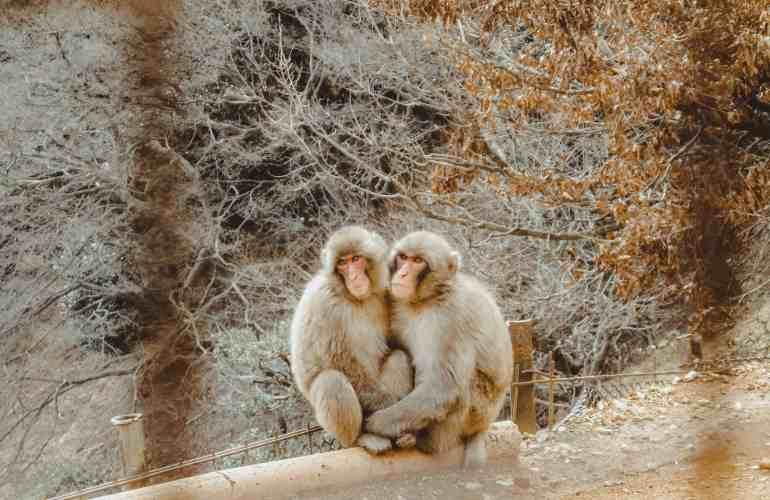 Monkey Park Iwatayama Arashiyama Japan